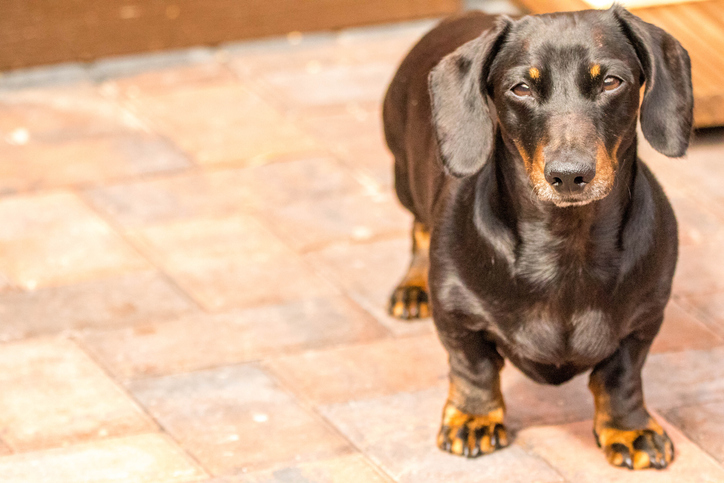 Miniature Smooth Haired Dachshund.
